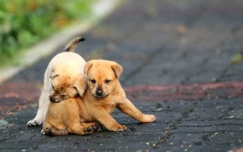 Animalia - Puppy Wallpapers and Backgrounds ID : 421543