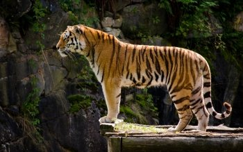 Animal - Tiger Wallpapers and Backgrounds ID : 421910