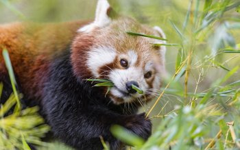 Animal - Red Panda Wallpapers and Backgrounds ID : 421977