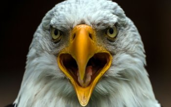 Djur - Bald Eagle Wallpapers and Backgrounds ID : 421979
