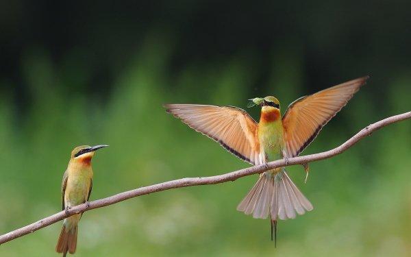 Animal Bee-eater Birds Bee-Eaters Golden Bee-eater HD Wallpaper | Background Image