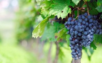 Alimento - Grapes Wallpapers and Backgrounds ID : 422066
