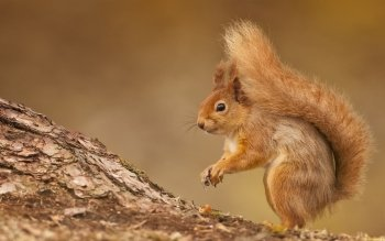 Animal - Squirrel Wallpapers and Backgrounds ID : 422666