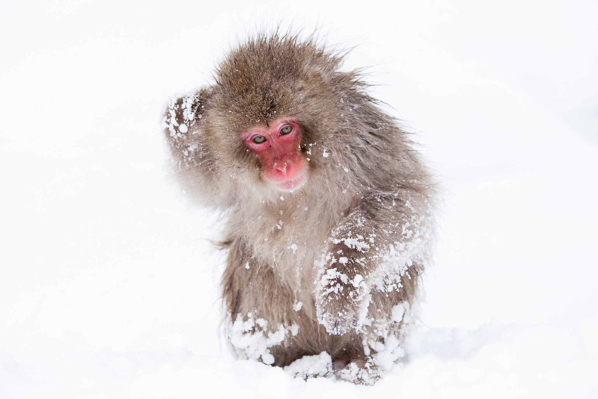 japanese macaque wallpaper wwwpixsharkcom images