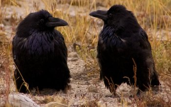 Animalia - Crow Wallpapers and Backgrounds ID : 423103