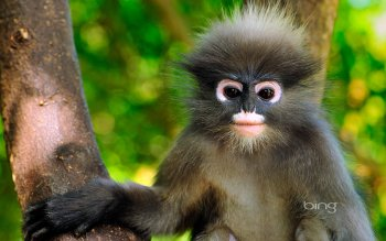 Animalia - Dusky Leaf Monkey Wallpapers and Backgrounds ID : 423473