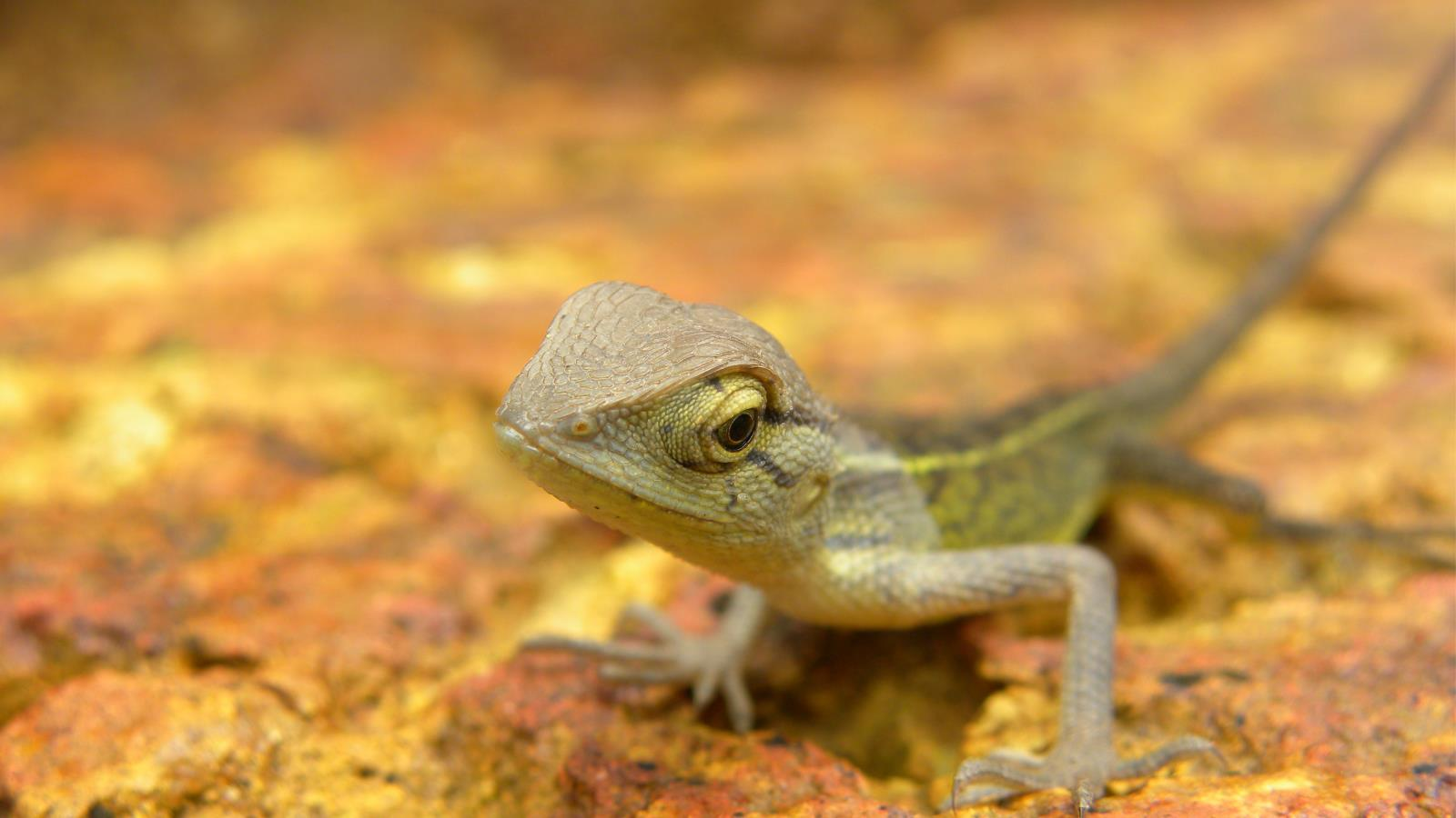 Lizard Wallpaper and Background Image   1600x900   ID ...