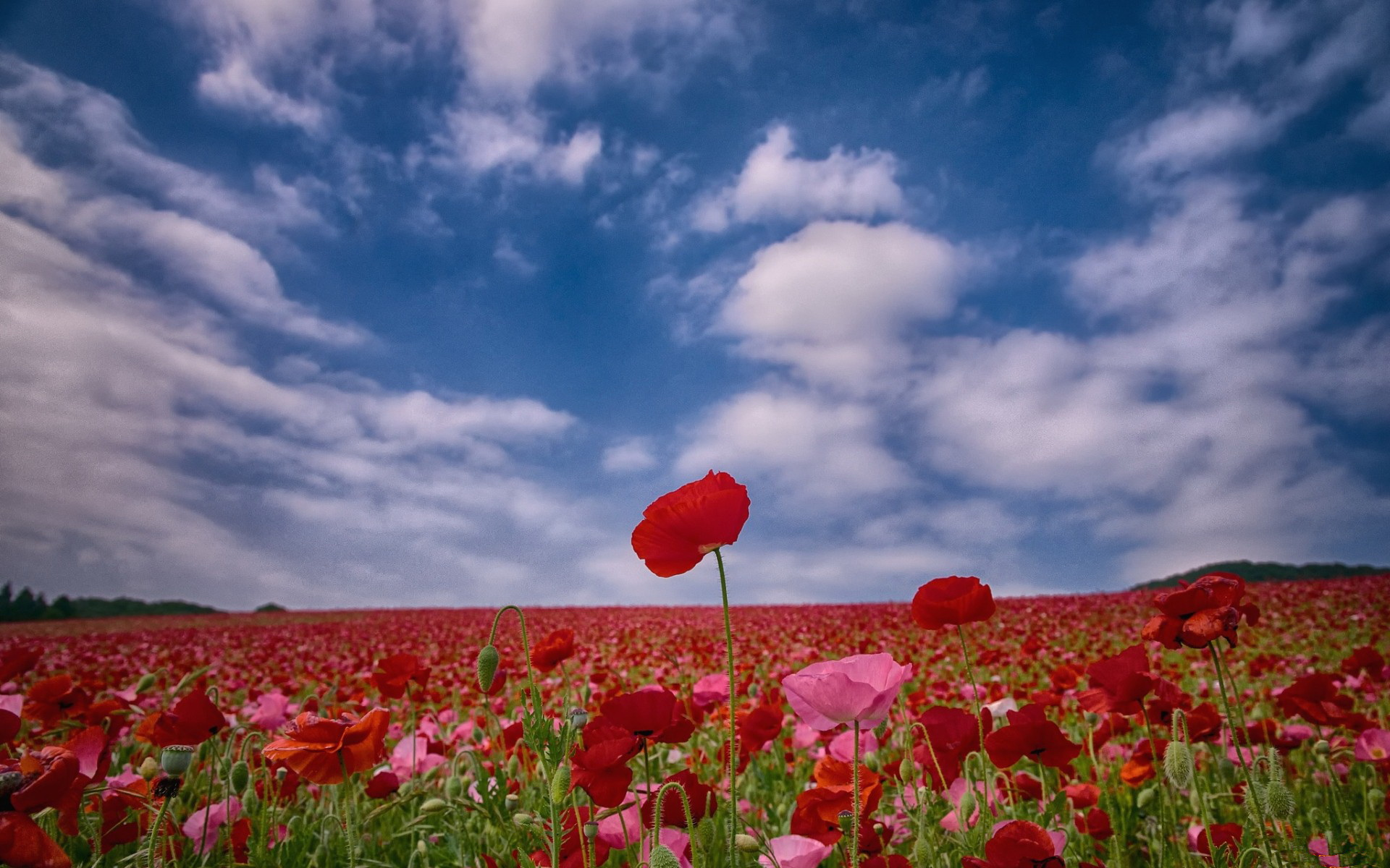 Poppy full hd wallpaper and background image 1920x1200 for Full wall wallpaper