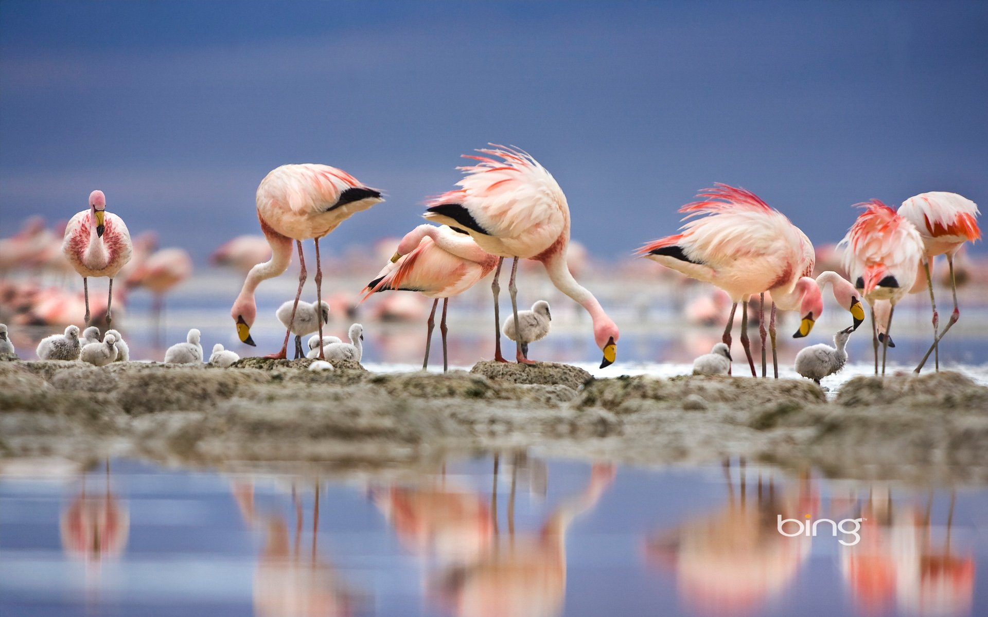 Flamingo Full HD Wallpaper and Background Image ...