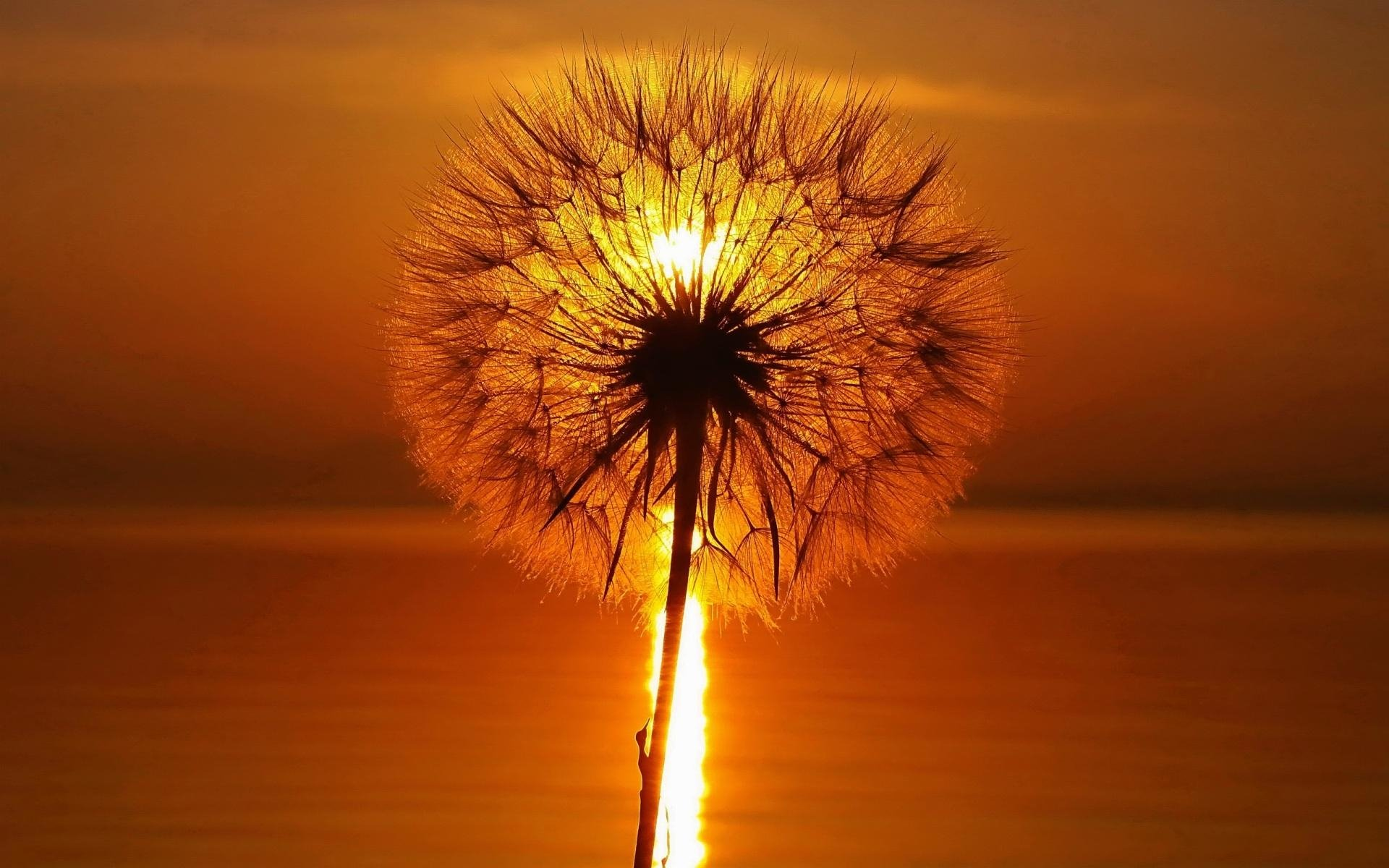 244 Dandelion HD Wallpapers Backgrounds Wallpaper Abyss