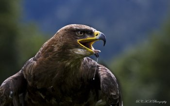 Animal - Eagle Wallpapers and Backgrounds ID : 425022