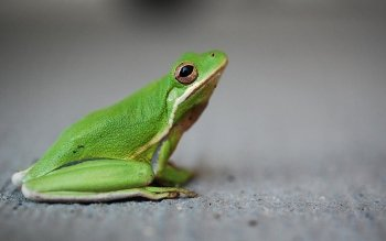 Animal - Frog Wallpapers and Backgrounds ID : 425184