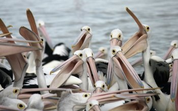 Animal - Pelican Wallpapers and Backgrounds ID : 425374