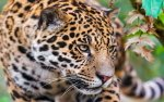 Preview Jaguar