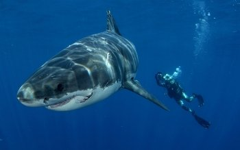Animal - Shark Wallpapers and Backgrounds ID : 426264