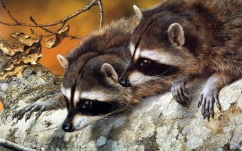 Animal - Raccoon Wallpapers and Backgrounds ID : 426469