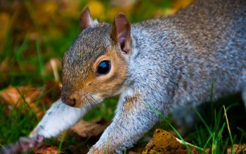 Animal - Squirrel Wallpapers and Backgrounds ID : 426745