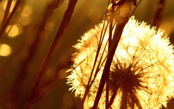 Earth - Dandelion Wallpapers and Backgrounds ID : 426785