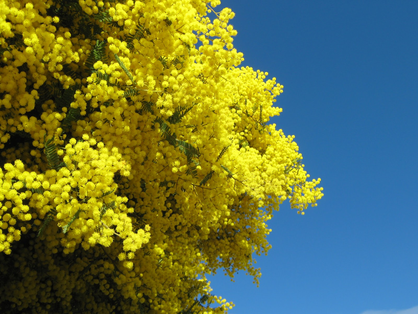 golden wattle wallpaper and background image