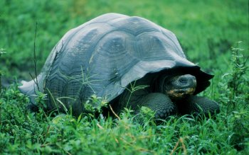 Animal - Turtle Wallpapers and Backgrounds ID : 427203