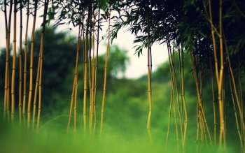 Tierra - Bamboo Wallpapers and Backgrounds ID : 427427