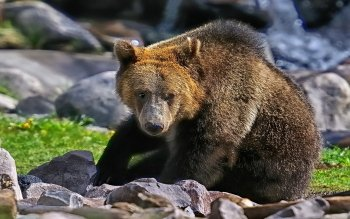 Animal - Bear Wallpapers and Backgrounds ID : 427498