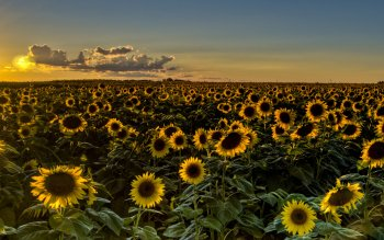 Earth - Sunflower Wallpapers and Backgrounds ID : 427793