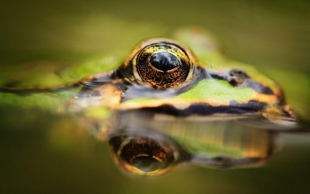 Animal - Frog Wallpapers and Backgrounds ID : 428703