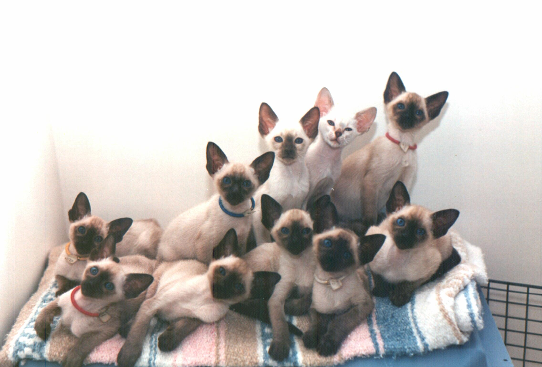12 Siamese Cat HD Wallpapers