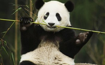 Animal - Panda Wallpapers and Backgrounds ID : 429544