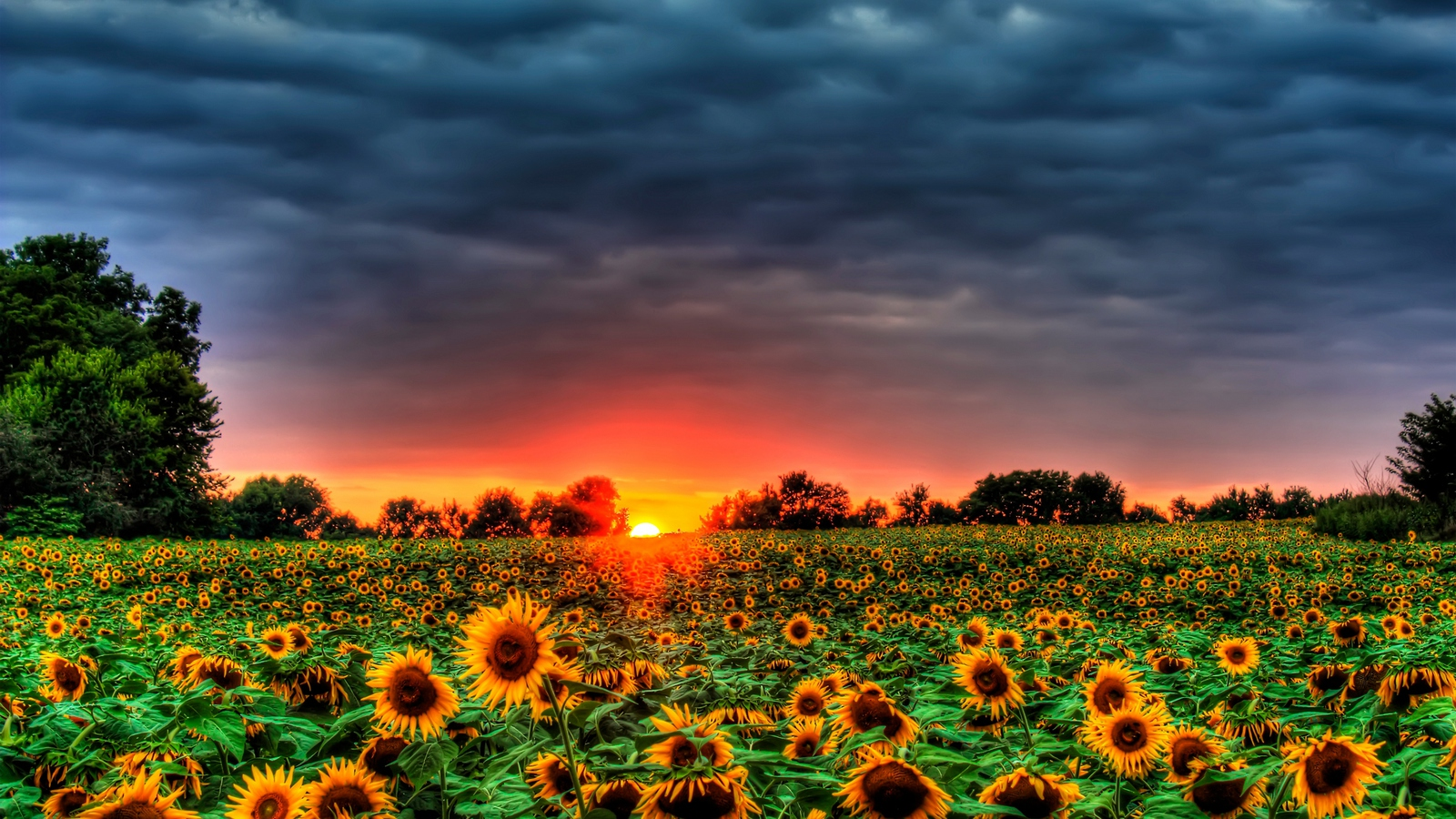 sunflowers galore! wallpaper and background image | 1600x900 | id:430196