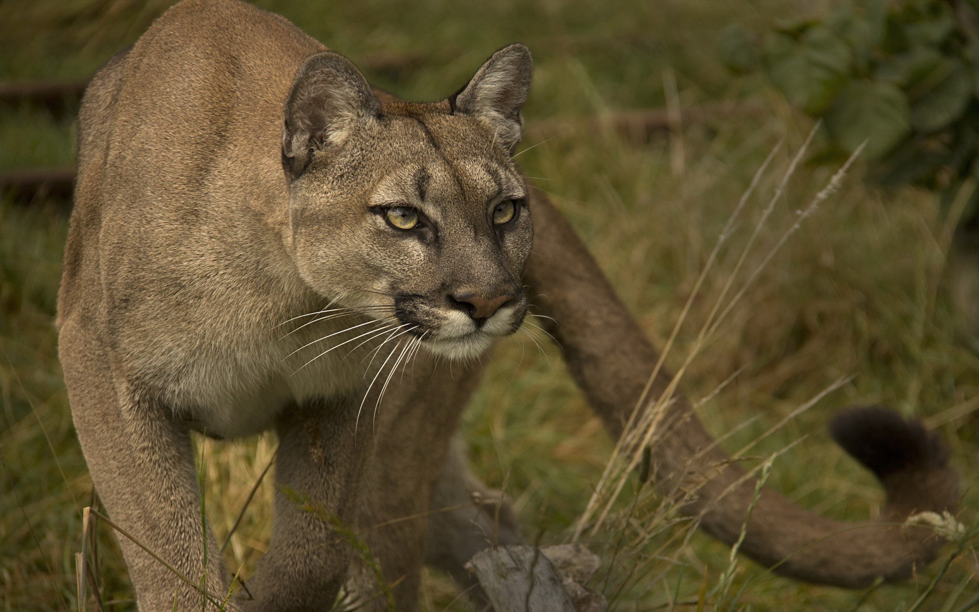 Cougar Full HD Wallpaper and Background | 1920x1200 | ID ...