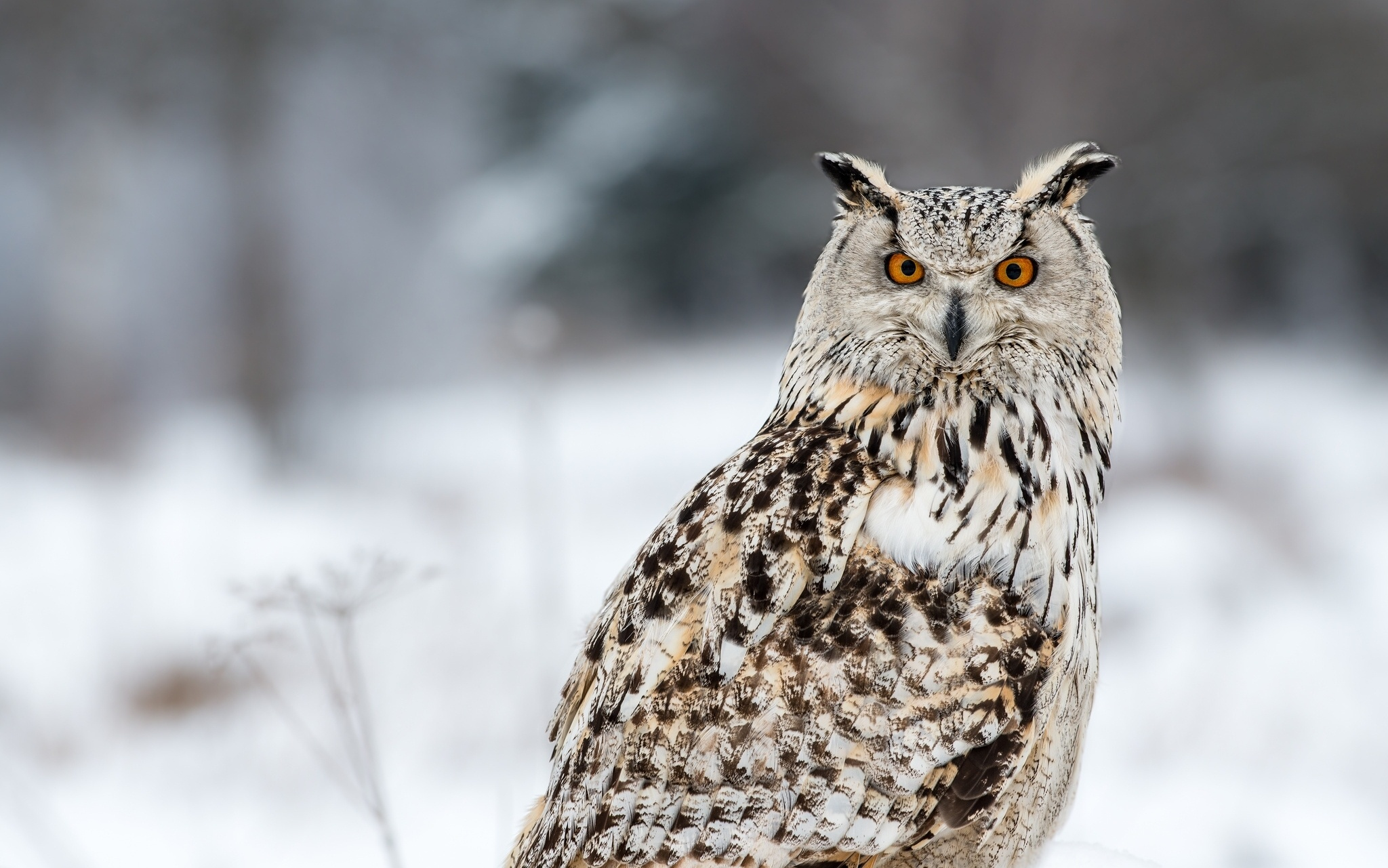 Owl Full HD Wallpaper and Background 2048x1281 ID430521