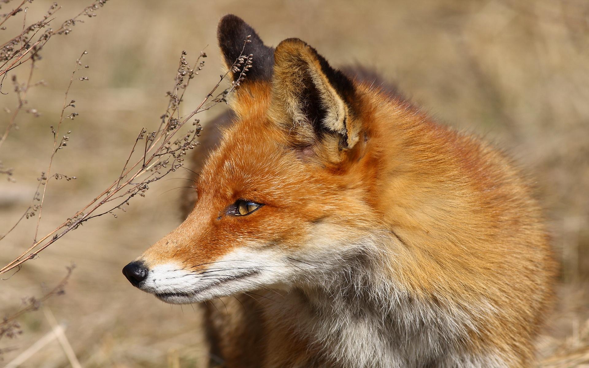 Fox Full HD Wallpaper and Background  1920x1200  ID:430894