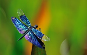 Animal - Dragonfly Wallpapers and Backgrounds ID : 430510
