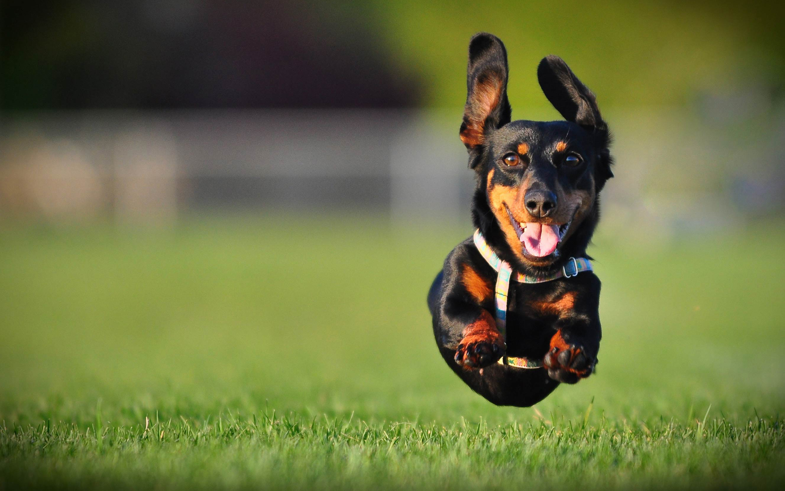 74 Dachshund HD Wallpapers