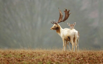 Animal - Deer Wallpapers and Backgrounds ID : 431016