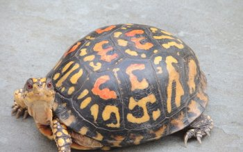 Animalia - Tortuga Wallpapers and Backgrounds ID : 431030