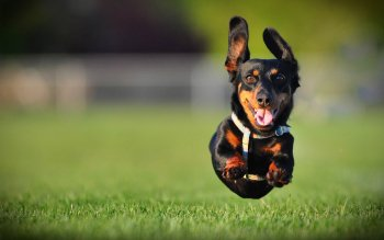 Animal - Dachshund  Wallpapers and Backgrounds ID : 431158