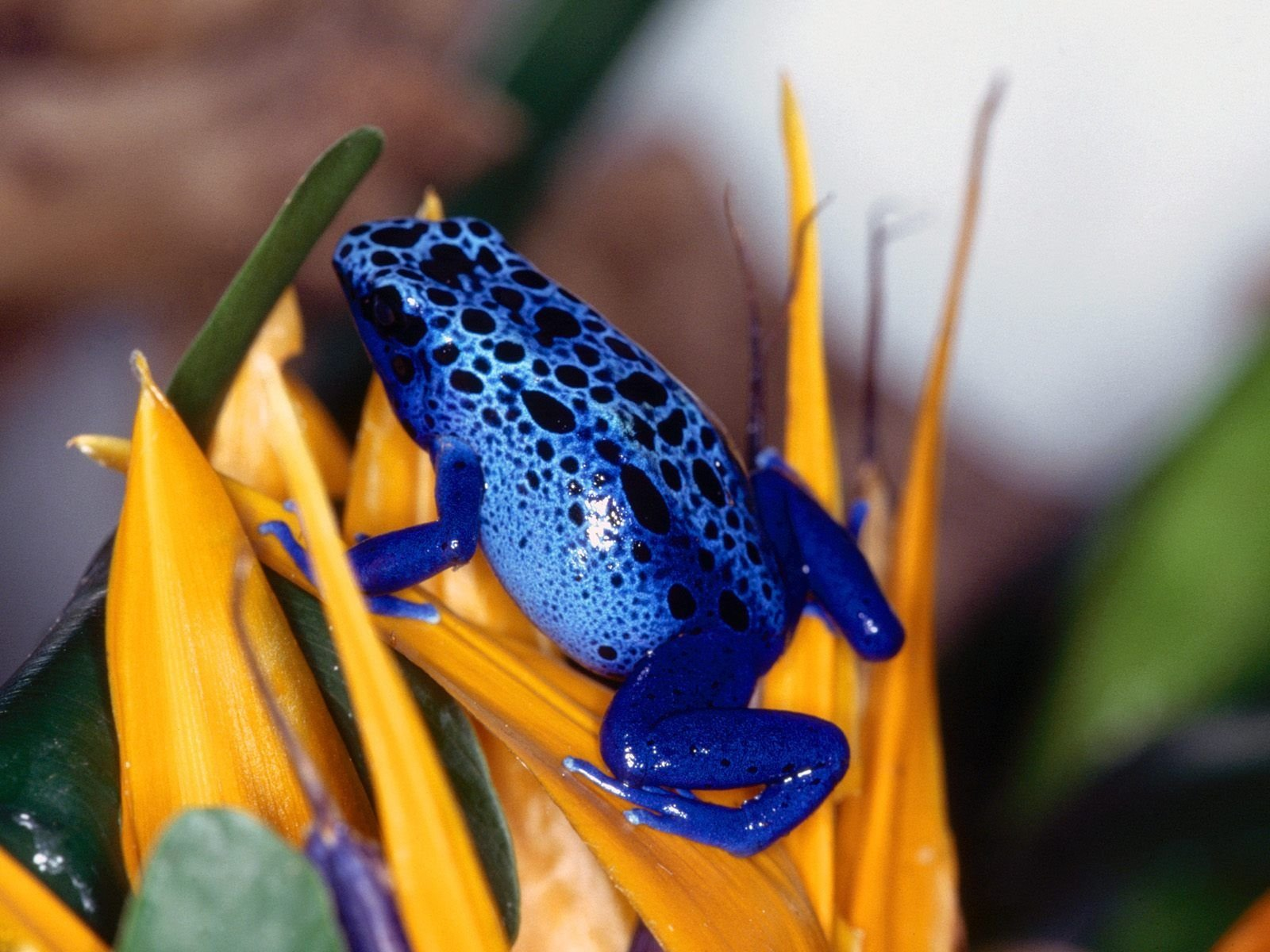 Animal - Poison dart frog  Frog Blue Poison Dart Frog Wallpaper