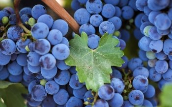 Alimento - Grapes Wallpapers and Backgrounds ID : 434131