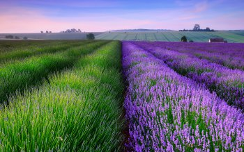 Erde - Lavender Wallpapers and Backgrounds ID : 434709