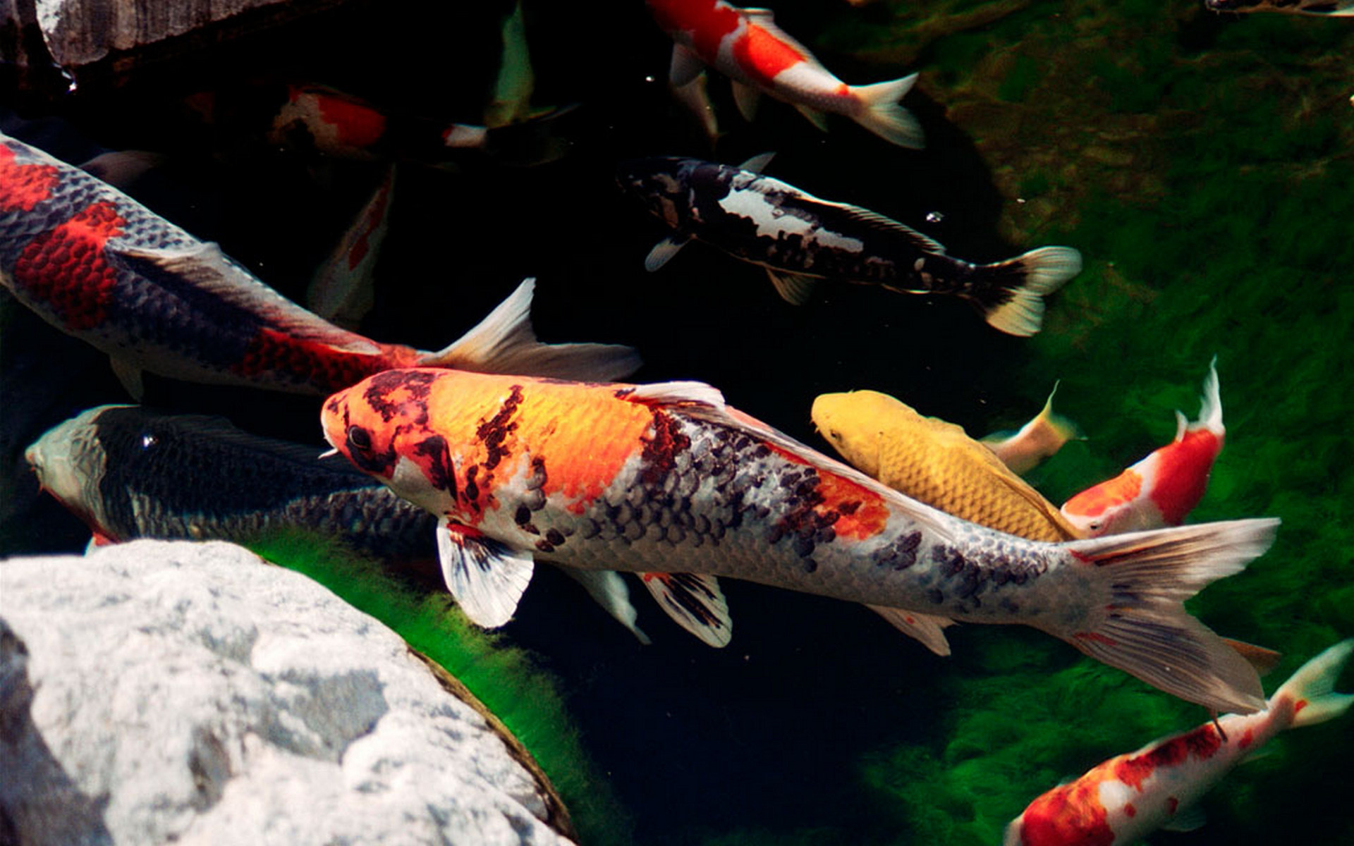 Koi Full HD Wallpaper And Background Image