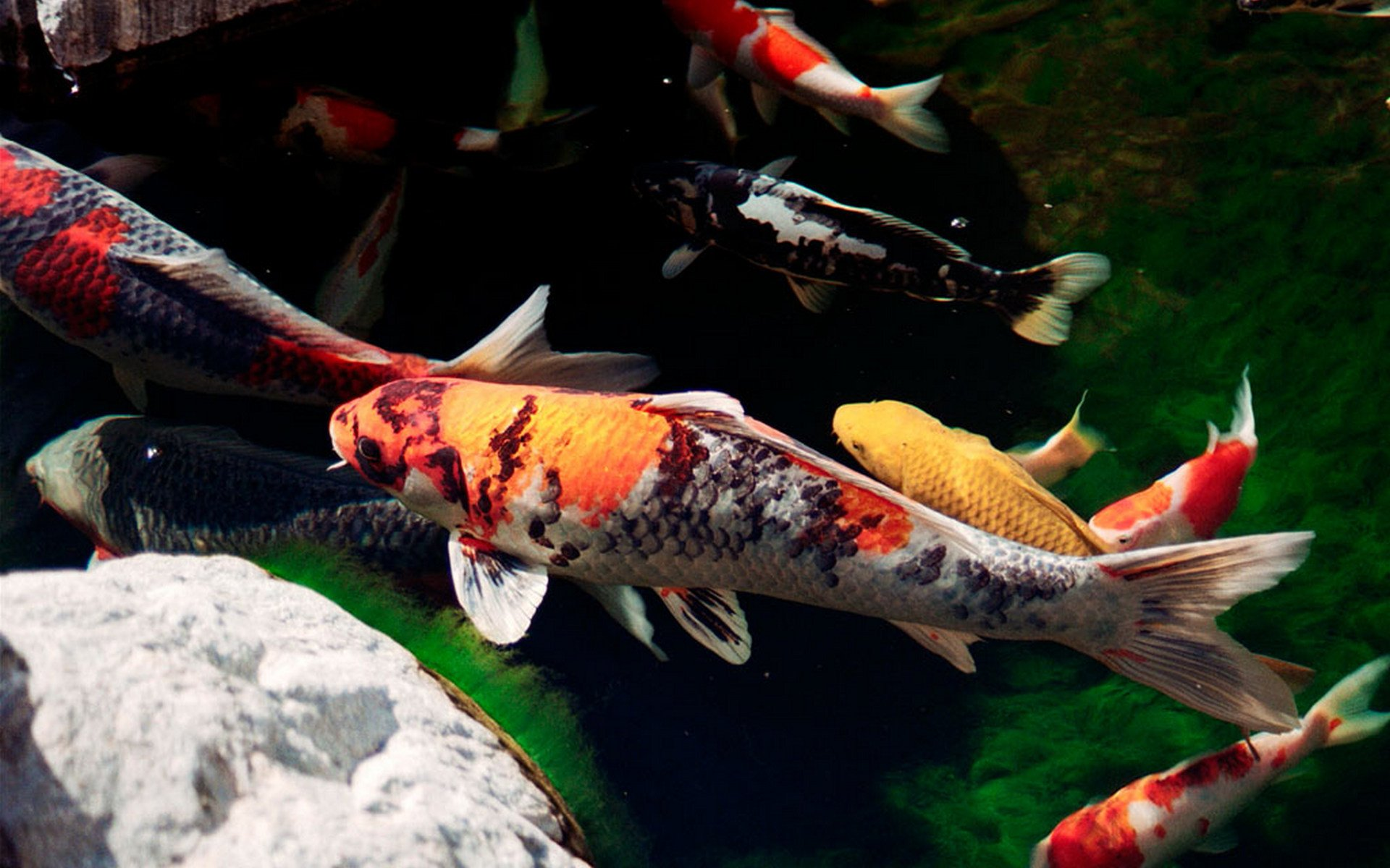 Koi Full Hd Wallpaper And Background Image 1920x1200 Id 436450