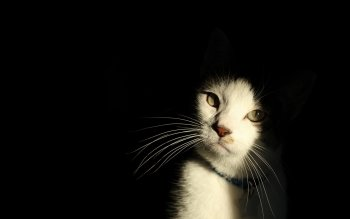 Animal - Cat Wallpapers and Backgrounds ID : 436202