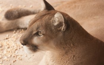 Animal - Cougar Wallpapers and Backgrounds ID : 436660