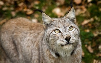 Dierenrijk - Lynx Wallpapers and Backgrounds ID : 436670