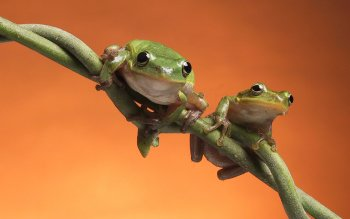 Animal - Frog Wallpapers and Backgrounds ID : 436712