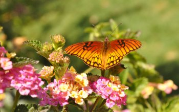 Animal - Butterfly Wallpapers and Backgrounds ID : 437799