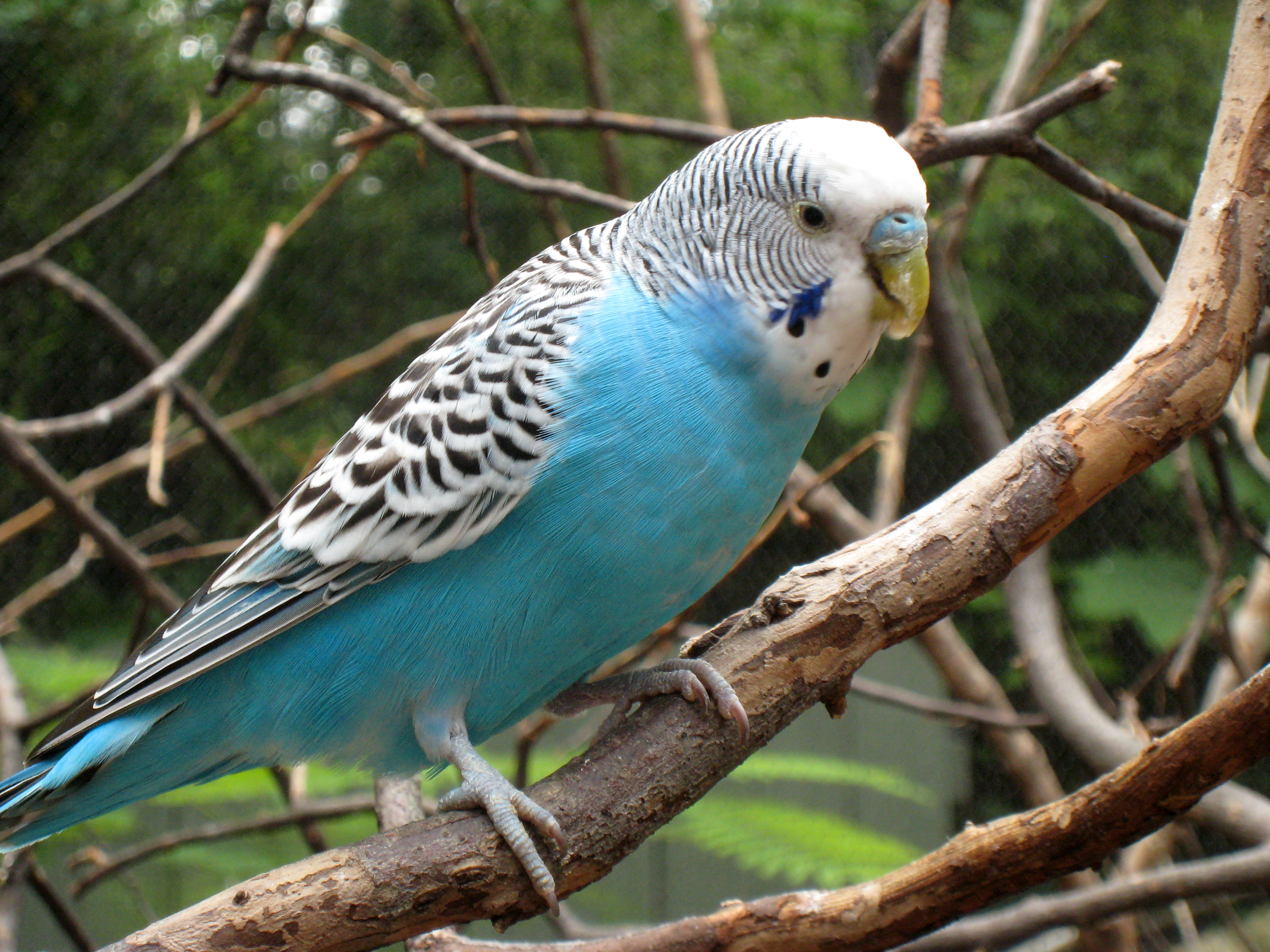 budgie HD Wallpaper | Background Image | 3072x2304 | ID